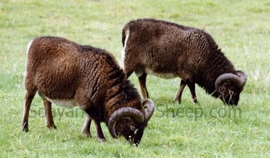 Soay rams on Hirta