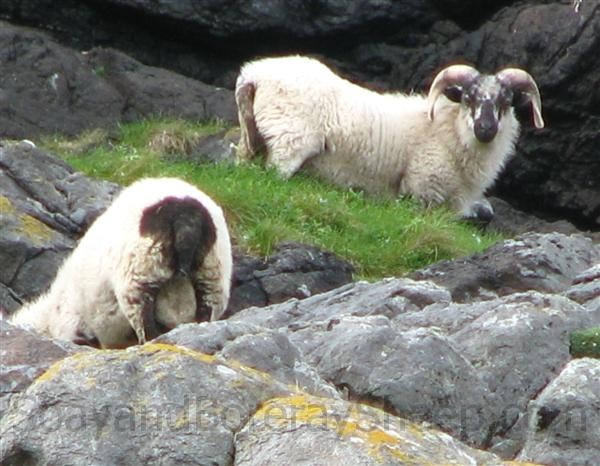 boreray rams on boreray