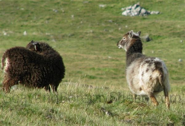 non typical coloration Soay ewe Hirta