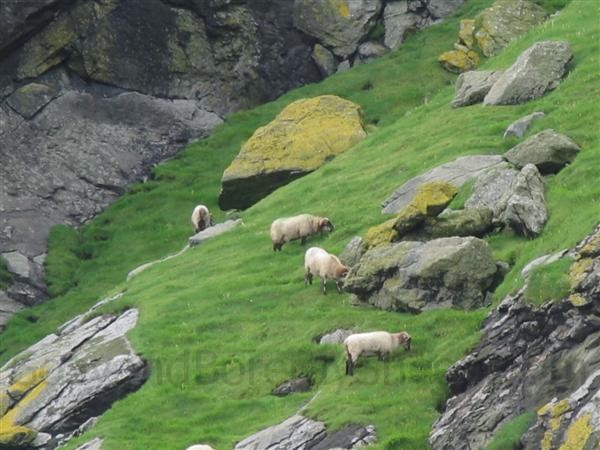 boreray sheep on boreray
