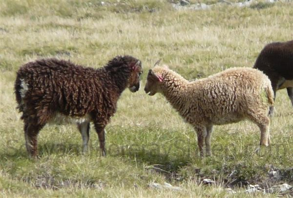 Dark and light phase sheep facing each other